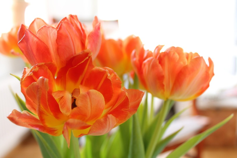 wilted tulips